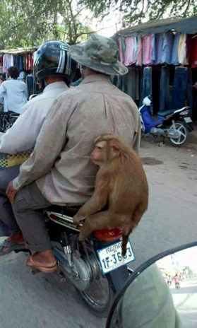 A Monkey on a Moto