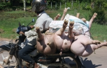 Pigs being transported to market on moto