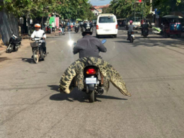 What a Croc! ~ Only in Cambodia