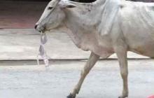 Khmer Cattle Round Up