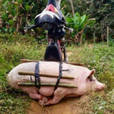 Pig Down!